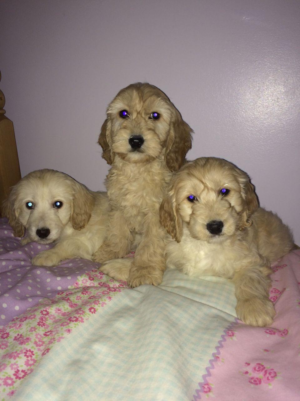 Cockapoo Puppies For Sale Atlanta Ga 174384 Petzlover