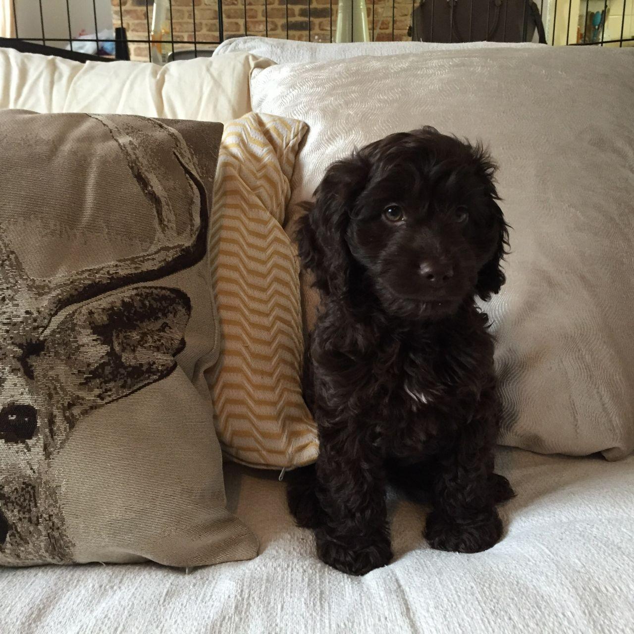 Cockapoo Puppies For Sale Georgia Dome Drive Atlanta Ga 176120