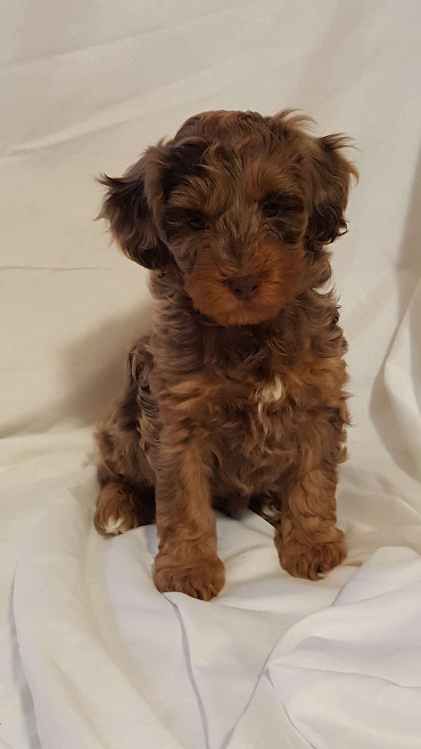 Cockapoo Puppies For Sale Springfield Oh 178600