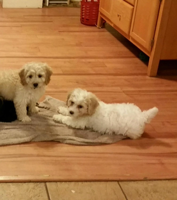Cockapoo Puppies For Sale | Nashua, NH #194010 | Petzlover