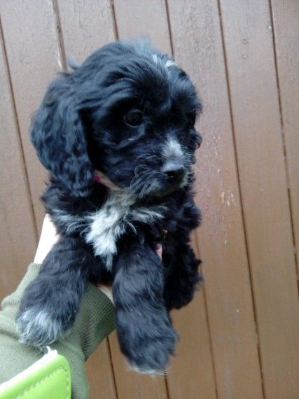 Cockapoo Puppies For Sale  Jacksonville, Fl 205810-8996