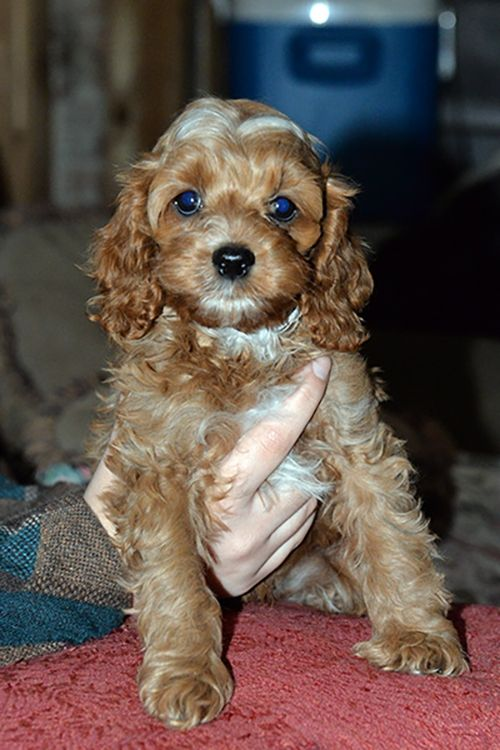 Cockapoo Puppies For Sale | West Alexandria, OH #207780