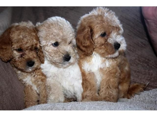 Cockapoo Puppies For Sale | NEW, New Paltz, NY #227932