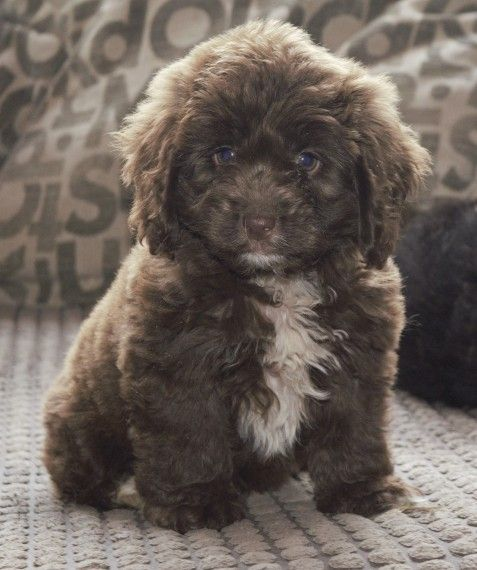 Cockapoo Puppies For Sale In Ky