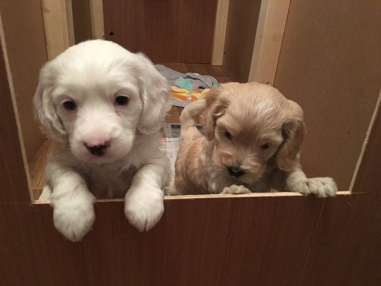 Cockapoo Puppies For Sale Downtown Ga 238822 Petzlover
