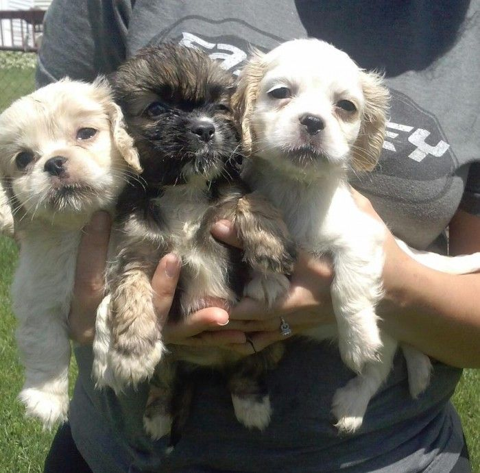 Cockapoo Puppies For Sale | Maryland Road, Upper Moreland