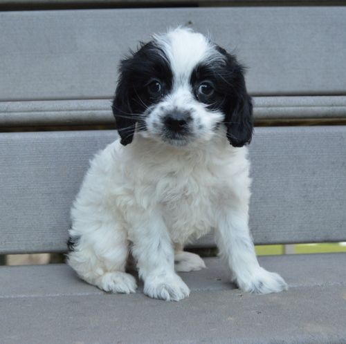 Cockapoo Puppies For Sale | Cedar Rapids, IA #245939