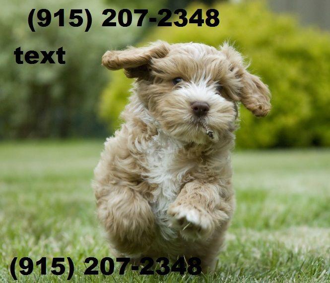Cockapoo Puppies For Sale Atlanta Ga 255832 Petzlover