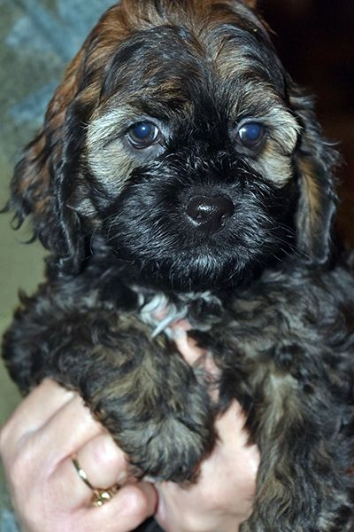 Cockapoo Puppies For Sale | West Alexandria, OH #258161