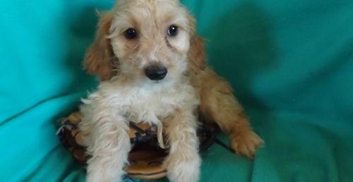 Cockapoo Puppies For Sale Saint Clair Mi 260396