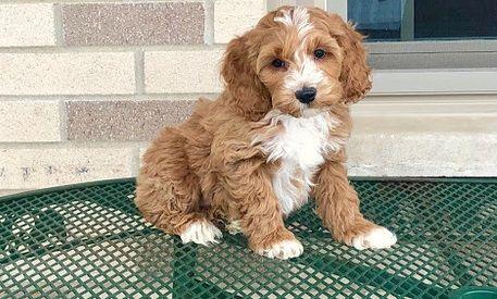 Cockapoo Puppies For Sale | Georgia Avenue, AL #291946