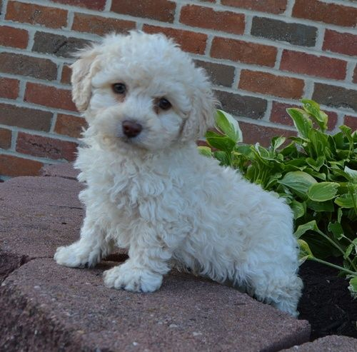 Cockapoo Puppies For Sale   Tinley Park, IL #294004