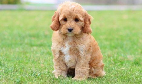 Cockapoo Puppies For Sale | Cincinnati, OH #296074