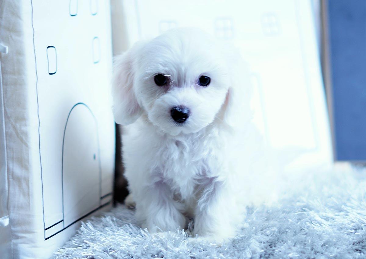 Cockapoo Puppies For Sale Orange County Ca 298836