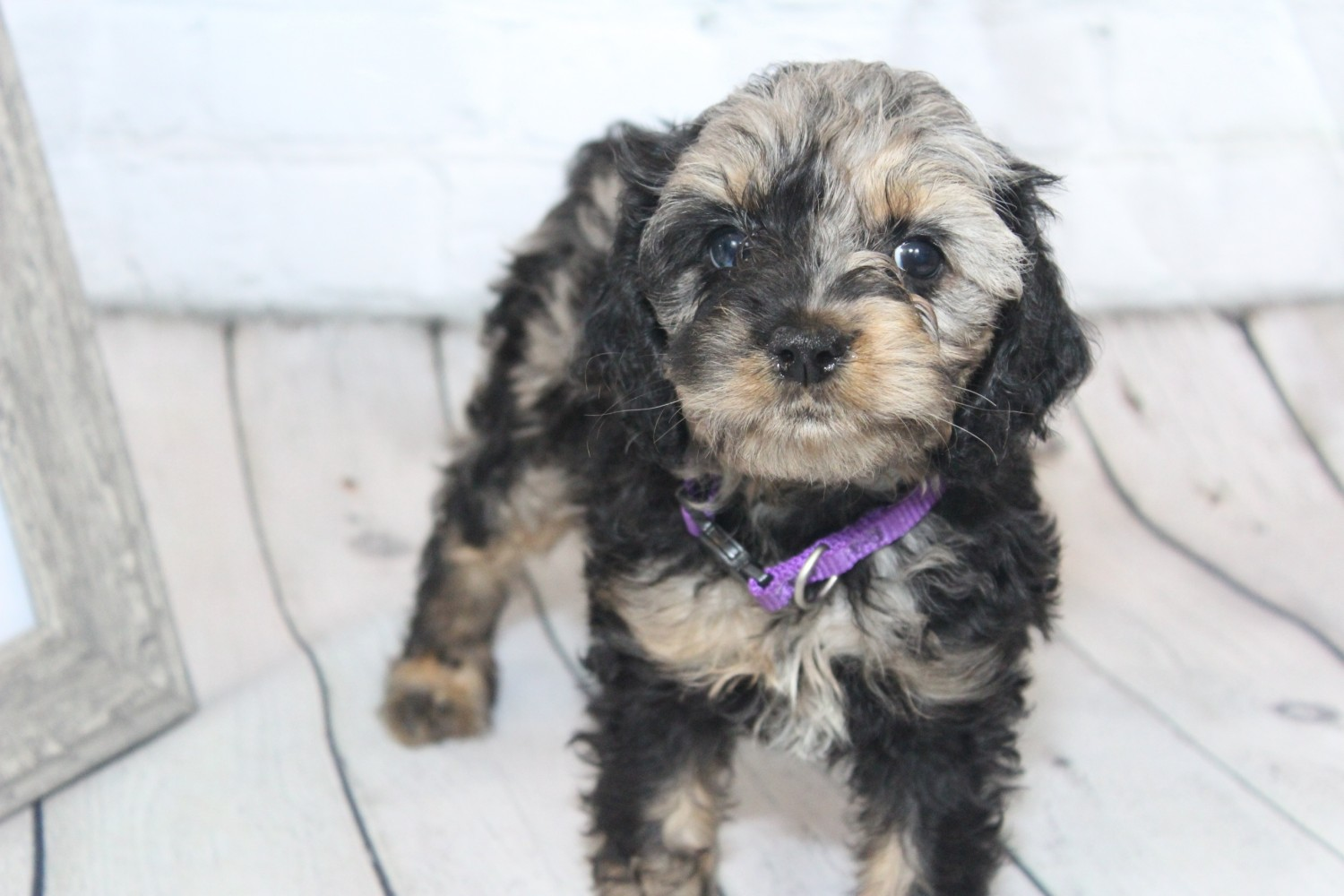 Cockapoo Puppies For Sale Fayetteville Nc 305832