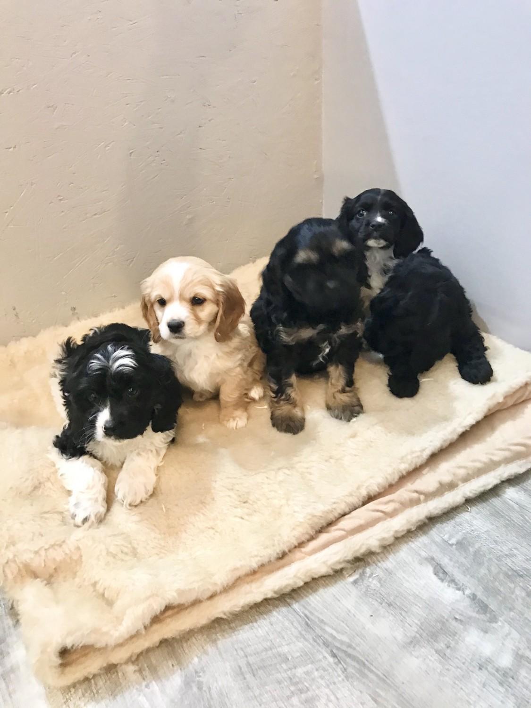 Cockapoo Puppies For Sale | Culpeper, VA #314716 | Petzlover