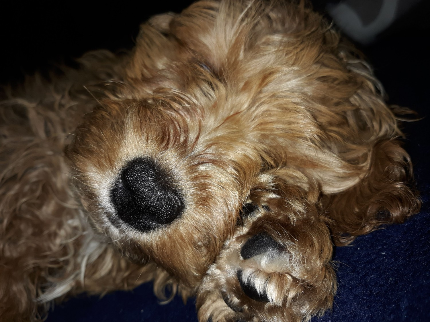Cockapoo Puppies For Sale   Chambersburg, PA #316200
