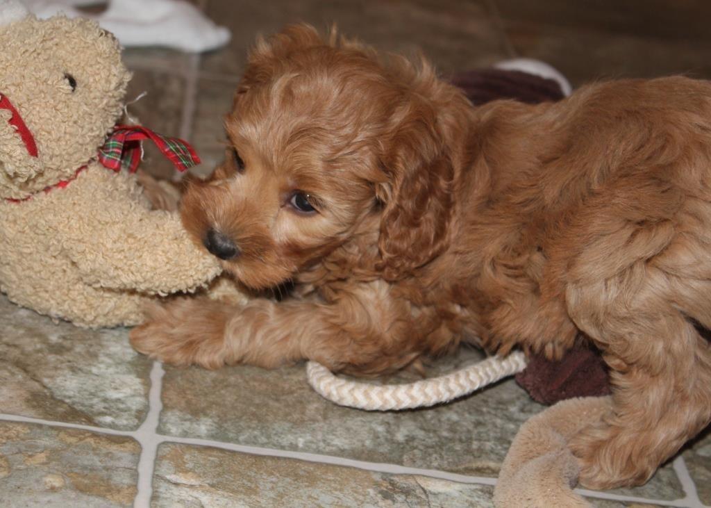 Cockapoo puppies for sale | Belgium