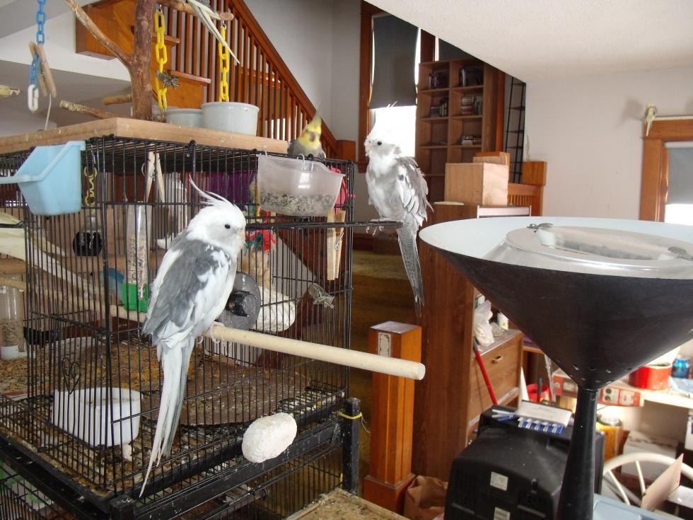 cockatiel birds for sale