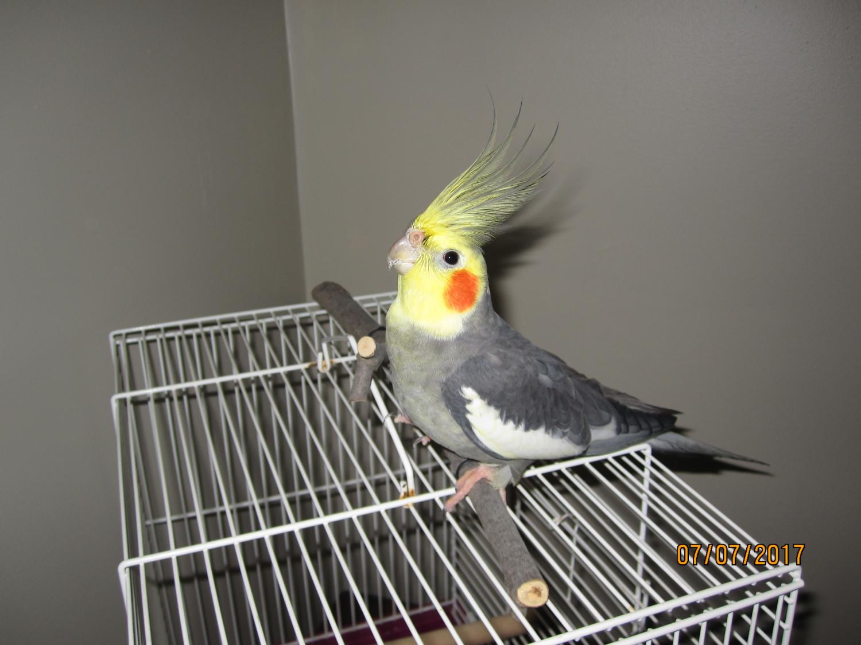 Cockatiel Birds For Sale Wichita Ks 221922 Petzlover
