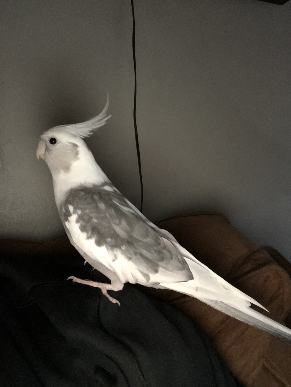 White Face Cockatiel – Nymphicus Hollandicus - Feathers N ... |White Faced Cockatiel