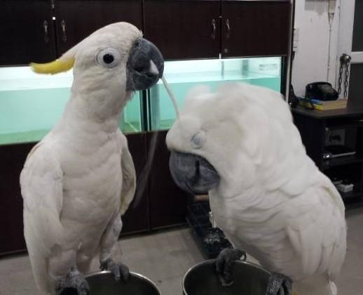 Cockatoo Birds For Sale | Los Angeles, CA #139646
