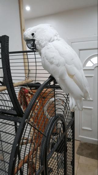 Cockatoo Birds For Sale | New York State Thruway, Greenburgh, NY #238441