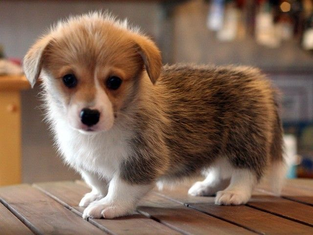 Corgi Puppies Virginia Beach