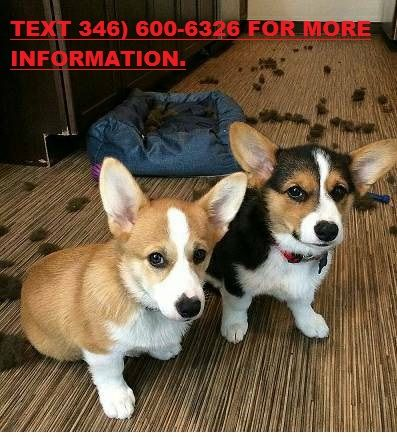 Corgi Puppies For Sale Miami Fl 256810 Petzlover