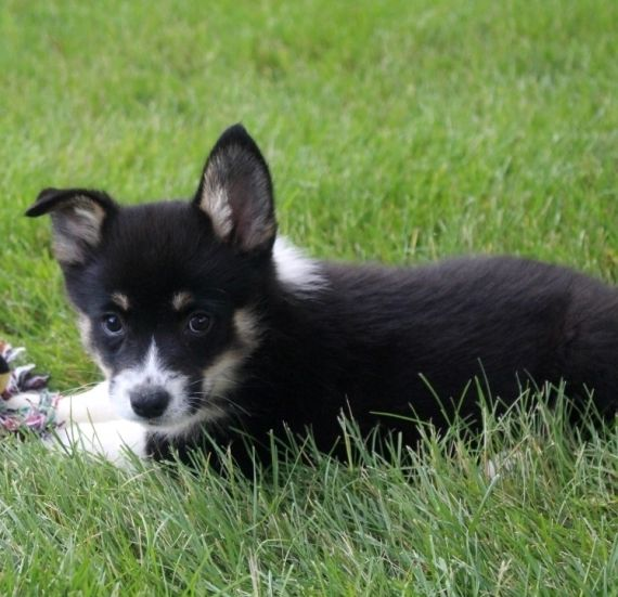 Corgi Puppies For Sale Northeast Philadelphia Pa 259224