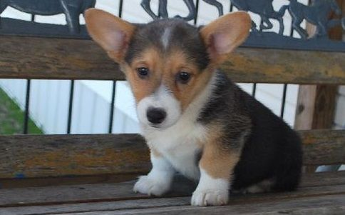 Corgi Puppies For Sale Atlanta Ga 285936 Petzlover