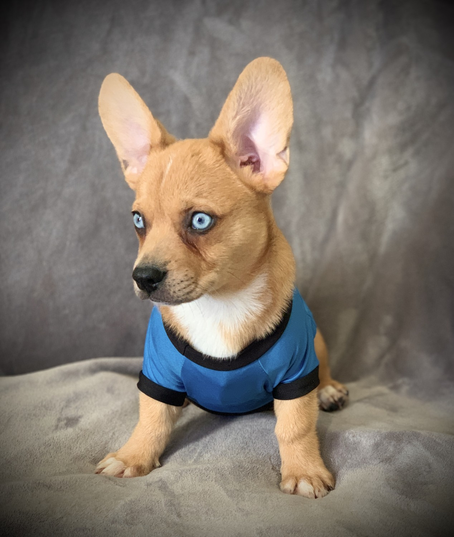 Corgi Puppies For Sale | South Australia | Petzlover