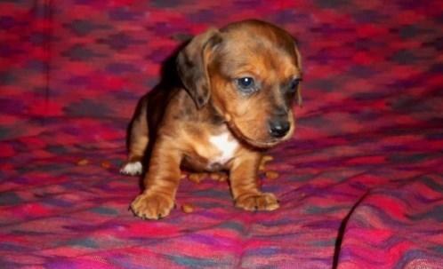 Dachshund Puppies For Sale Houston Tx 117715 Petzlover