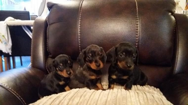 Dachshund Puppies For Sale Huntsville Al 129514