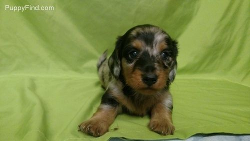 Dachshund Puppies For Sale Asheville Nc 164006