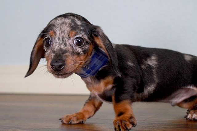 Dachshund Puppies For Sale Pinnacle Nc 167458