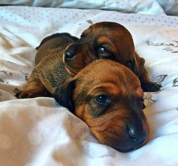 Dachshund Puppies For Sale Minnesota Street Saint Paul Mn 167556