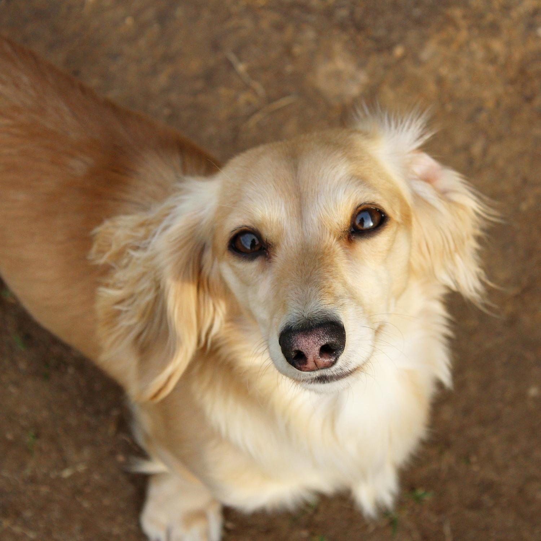 Dachshund Puppies For Sale Martinsville Va 187333