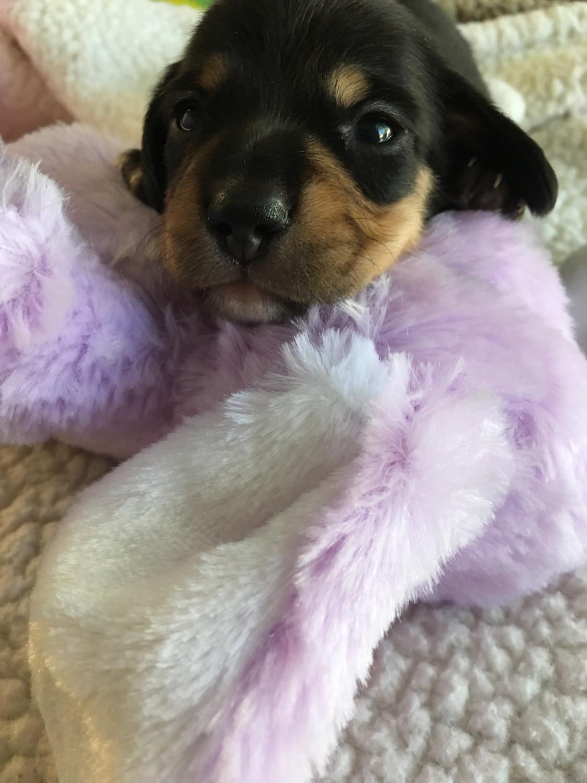 Dachshund Puppies For Sale | Alpine, CA #189458 | Petzlover