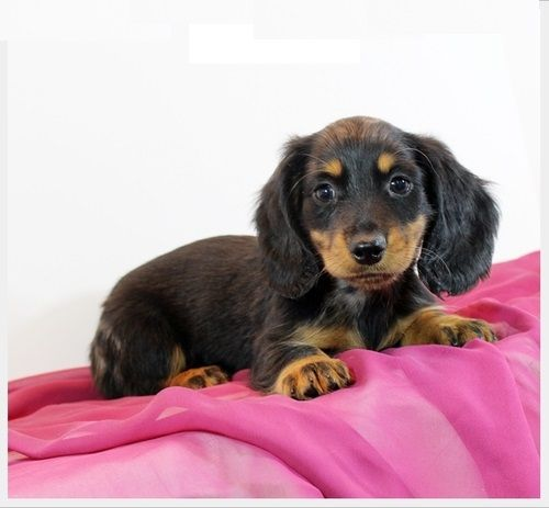 Dachshund Puppies For Sale Boston Ma 227324 Petzlover