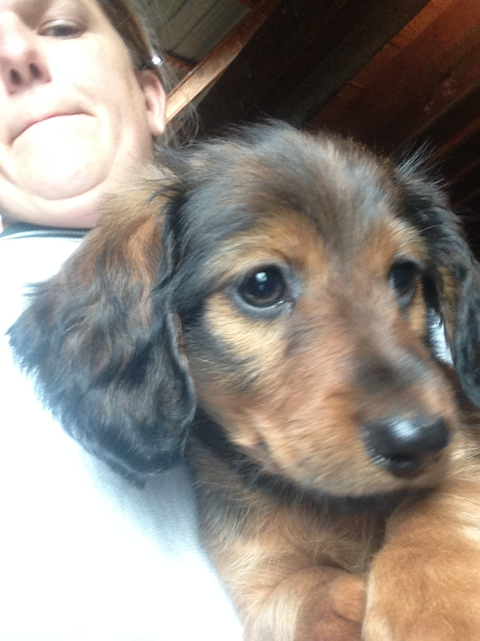 Dachshund Puppies For Sale Mifflinville Pa 249888
