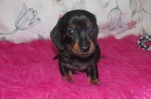 Dachshund Puppies For Sale Mackville Harrodsburg Road Ky 255091