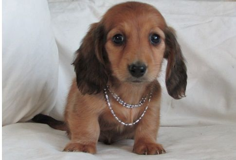 Dachshund Puppies For Sale Downtown Tn 285945