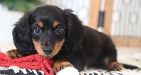 Dachshund Puppies For Sale Gayborhood Pa 287968