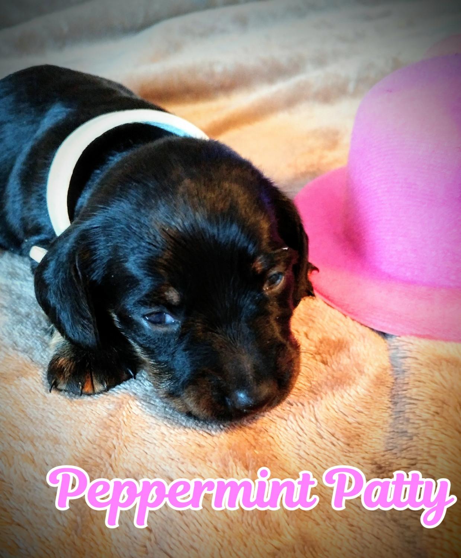 Dachshund Puppies For Sale Summerfield Fl 289750