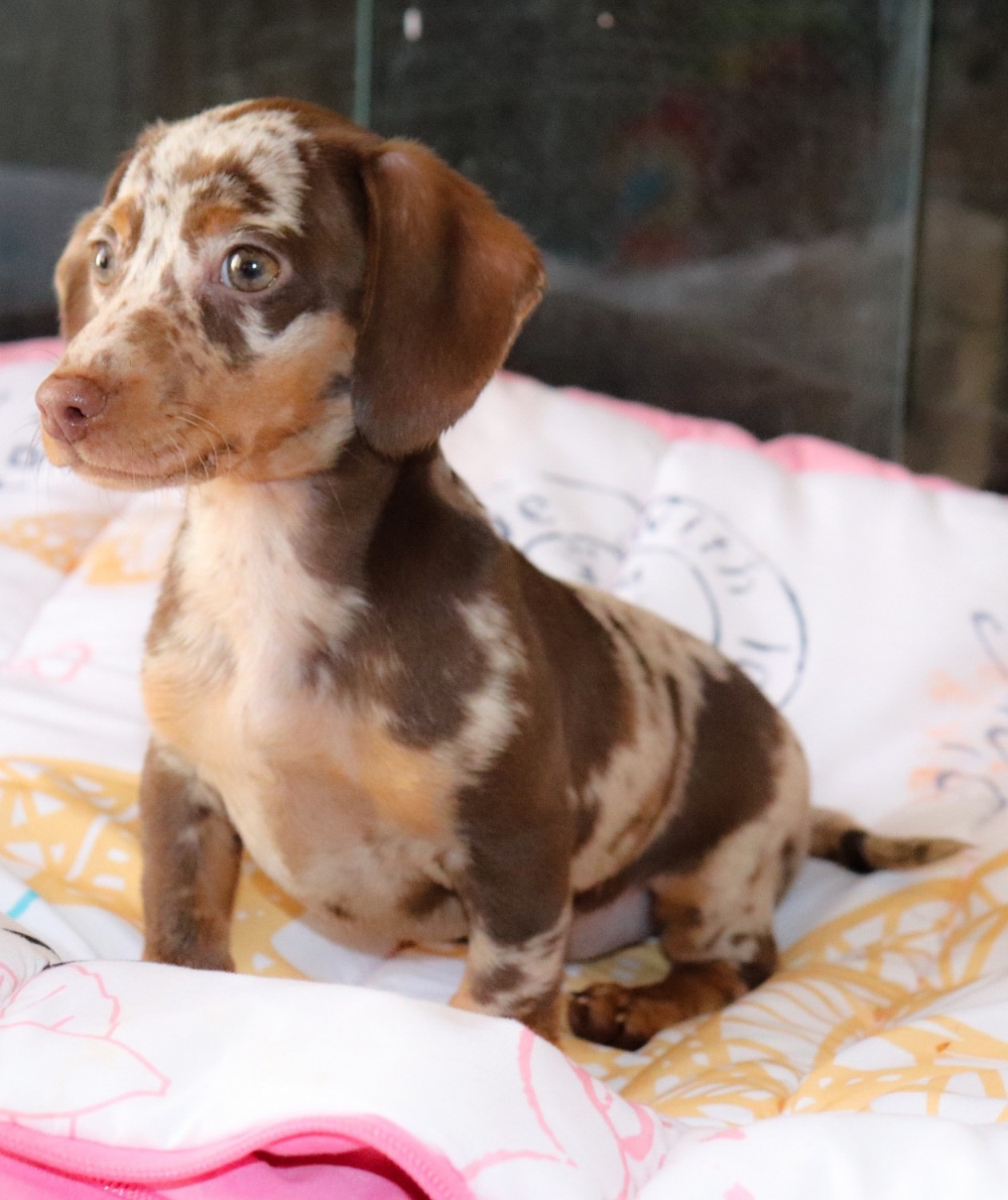 Dachshund Puppies For Sale | Kinston, NC #294773 | Petzlover