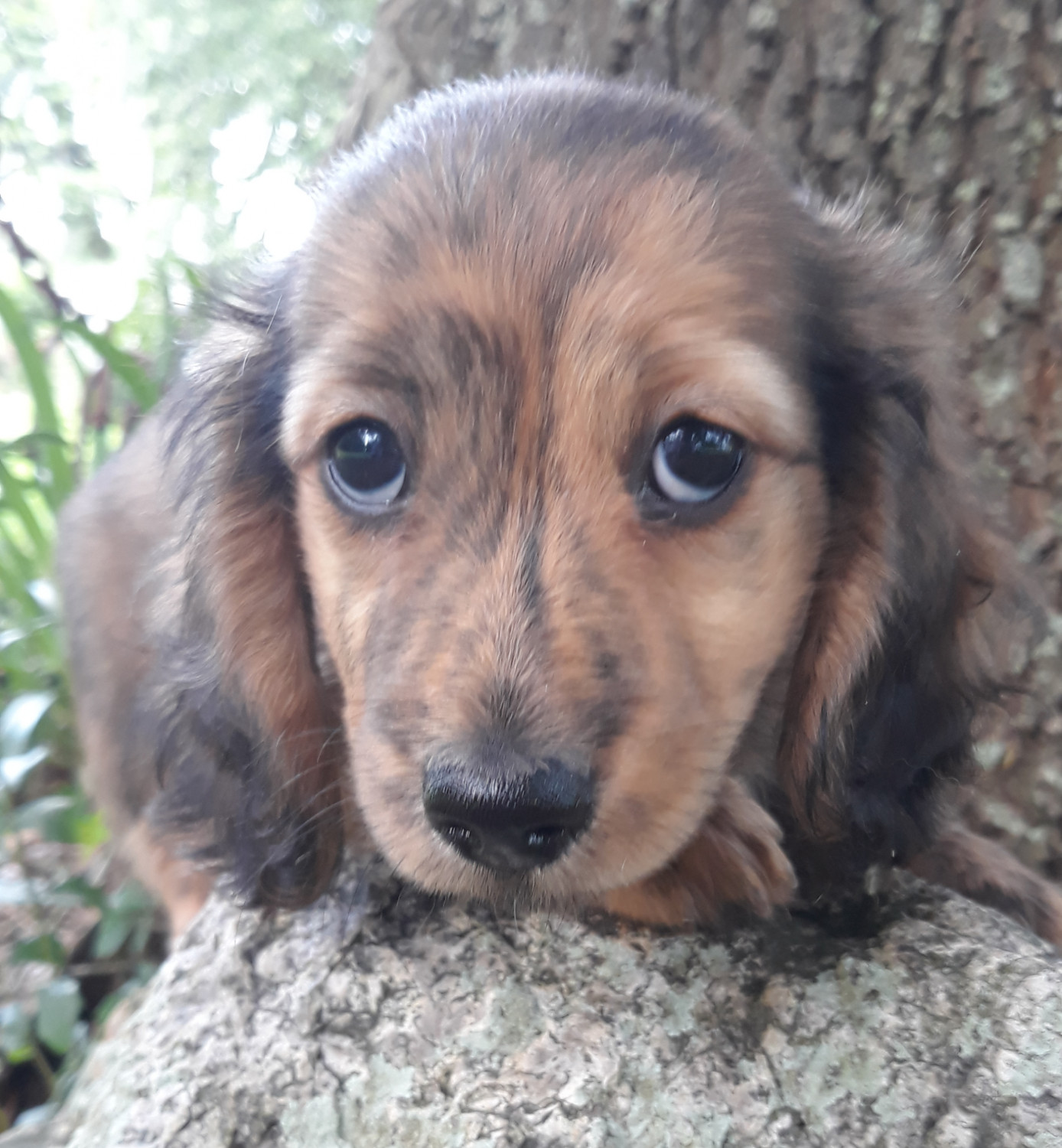 Dachshund Puppies For Sale Youngsville La 301013