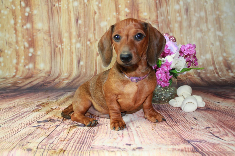 Buy Dachshund Puppies For Sale In Turkey