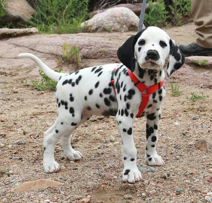Dalmatian Puppies For Sale Colorado Springs Co 197749