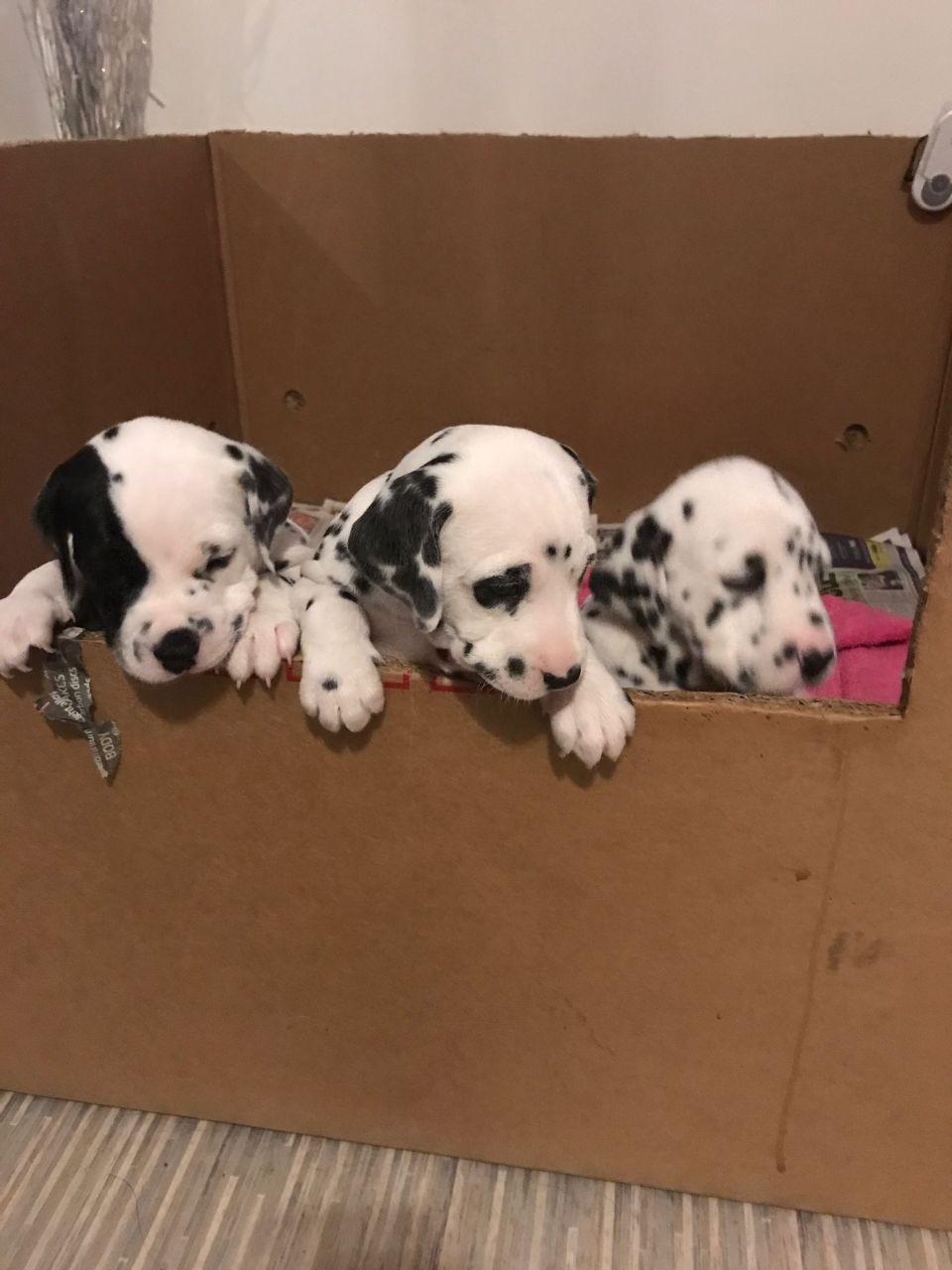 Dalmatian Puppies For Sale | Springfield, IL #212539